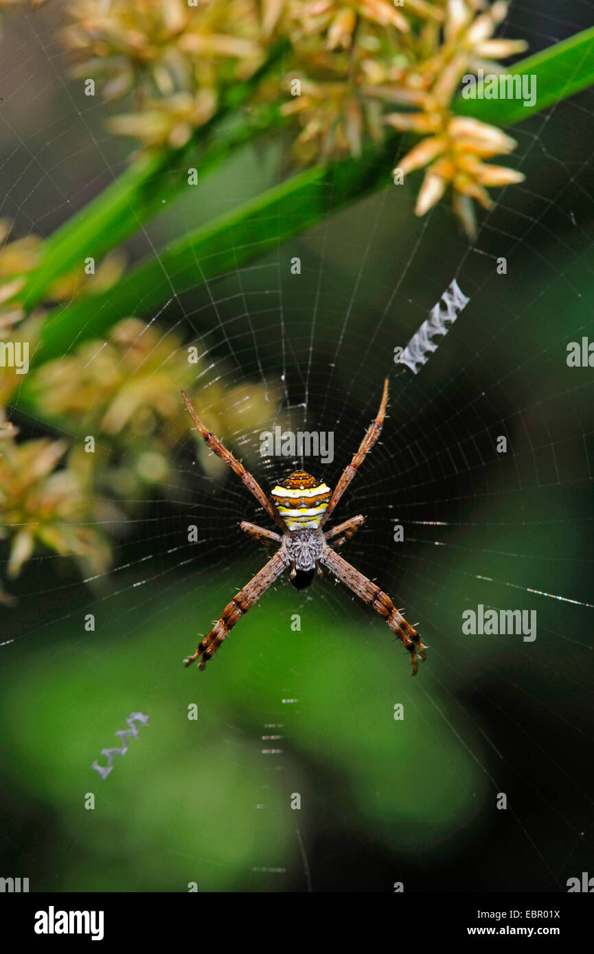 Orbweaver (Araneidae), in its web, Sri Lanka - Stock Image