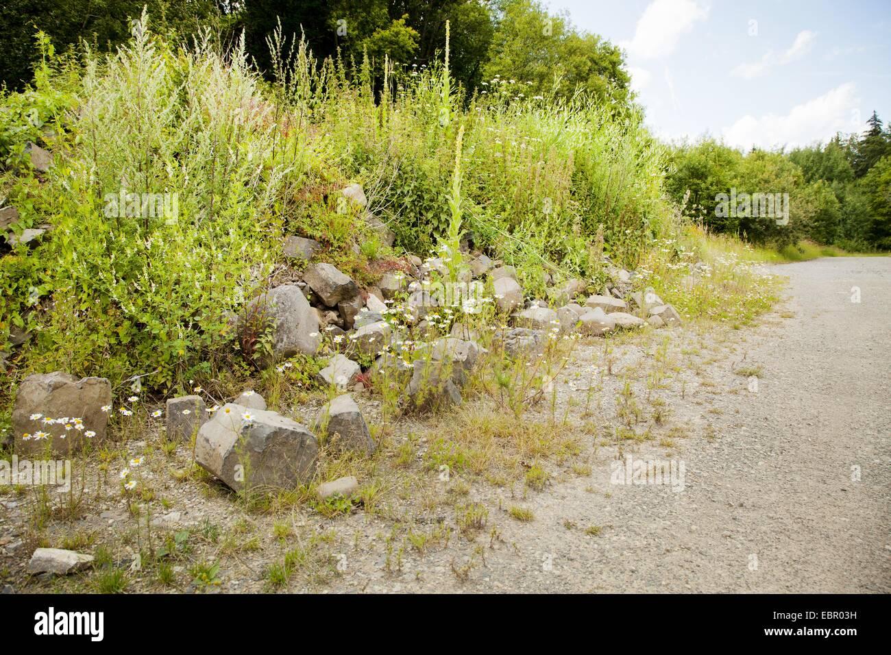 mullein (Verbascum spec.), on burden dump, Germany, Bavaria, Rhoen, Fladungen - Stock Image