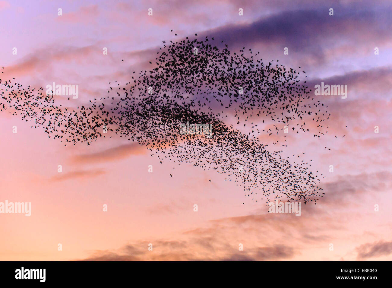 common starling (Sturnus vulgaris), starlings at the evening sky, Germany, Lower Saxony - Stock Image