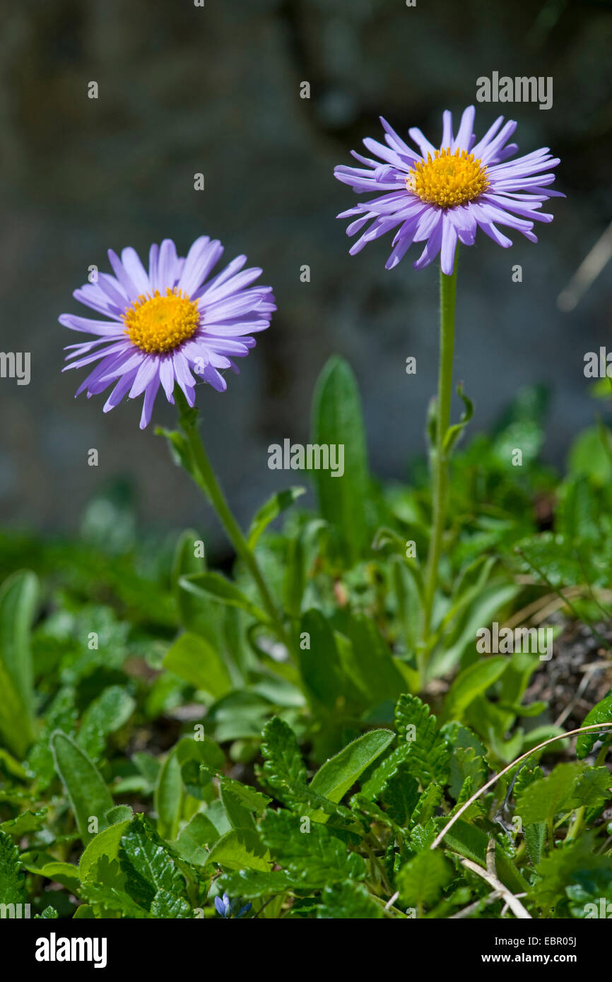 boreal aster, alpine aster (Aster alpinus), blooming, Switzerland - Stock Image