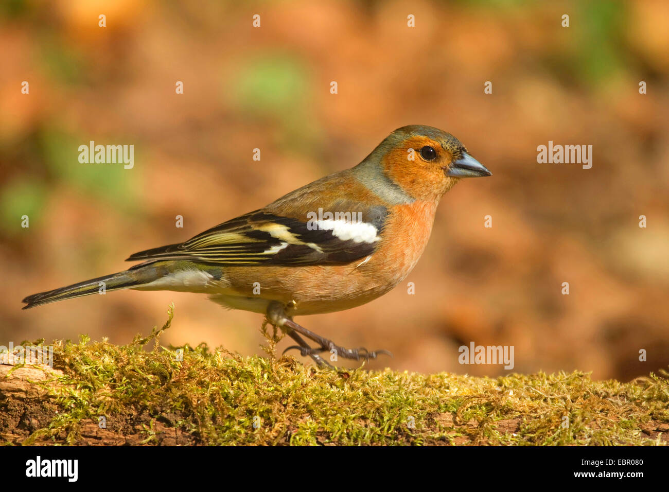 chaffinch (Fringilla coelebs), male on deadwood in April, Germany, North Rhine-Westphalia - Stock Image