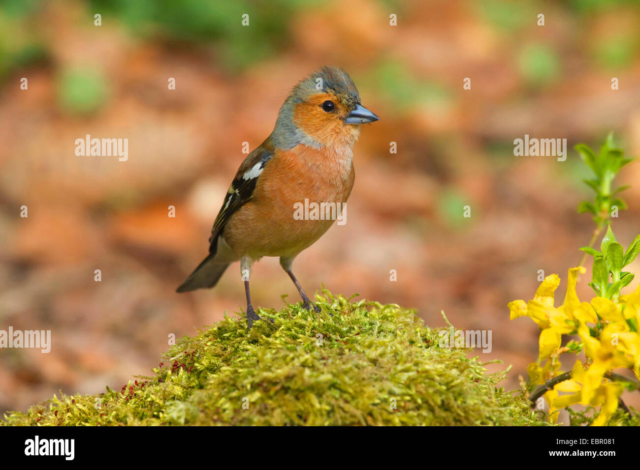 chaffinch (Fringilla coelebs), male, Germany, North Rhine-Westphalia - Stock Image