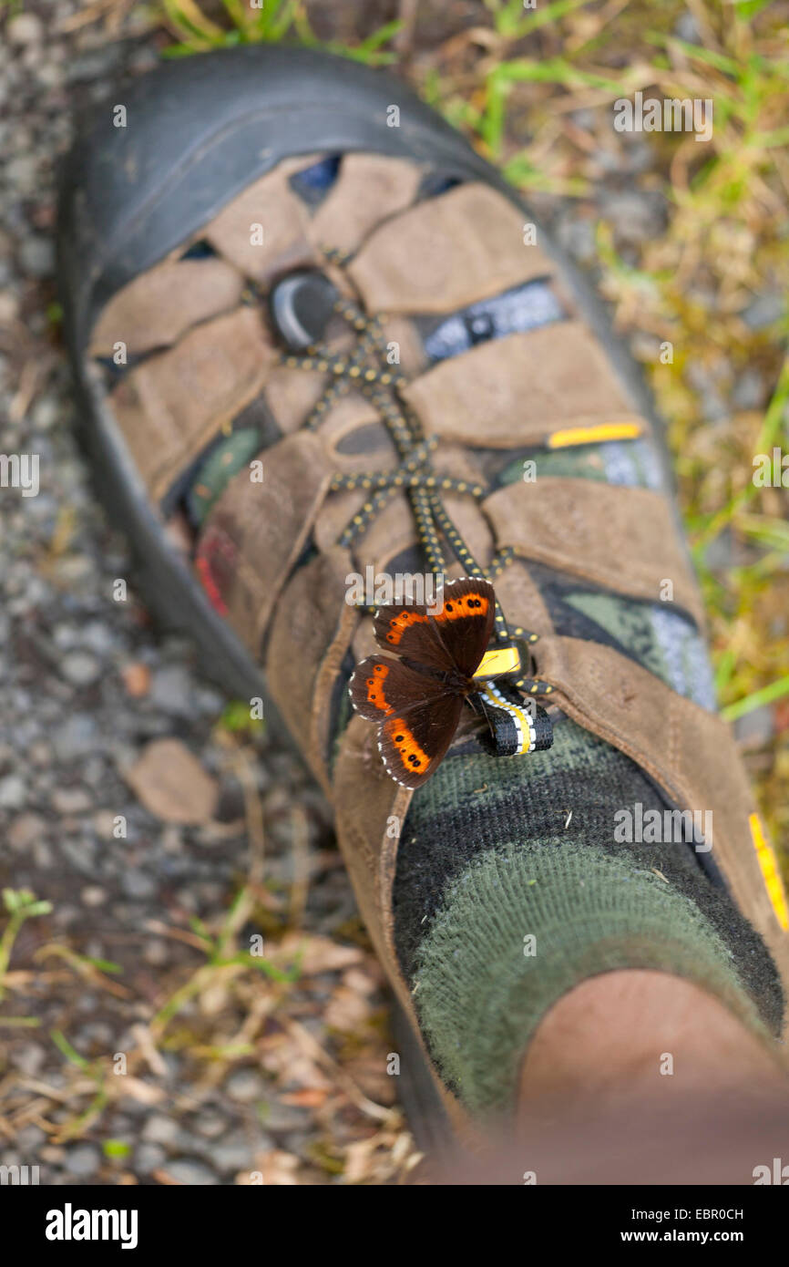 Arran brown, Ringlet butterfly (Erebia ligea), sitting on a shoe sucking sweat, Germany, Thueringen, Rhoen - Stock Image