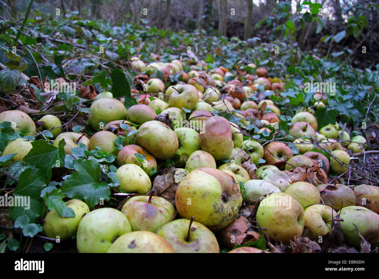 apple (Malus domestica), apples on the ground for feeding animals in a forest in winter, Germany Stock Photo