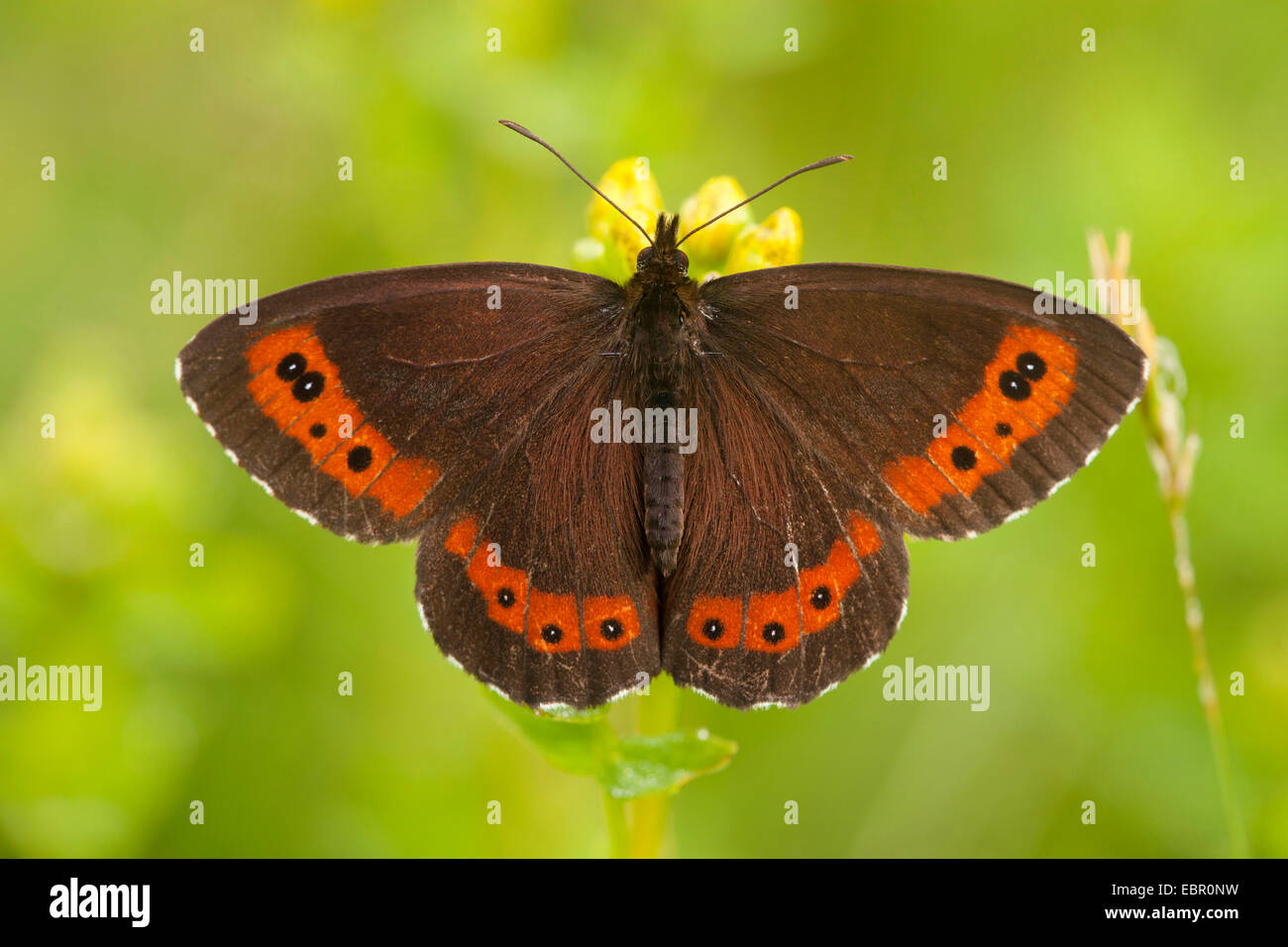 Arran brown, Ringlet butterfly (Erebia ligea), full-length portrait, Germany, Thueringen, Rhoen - Stock Image
