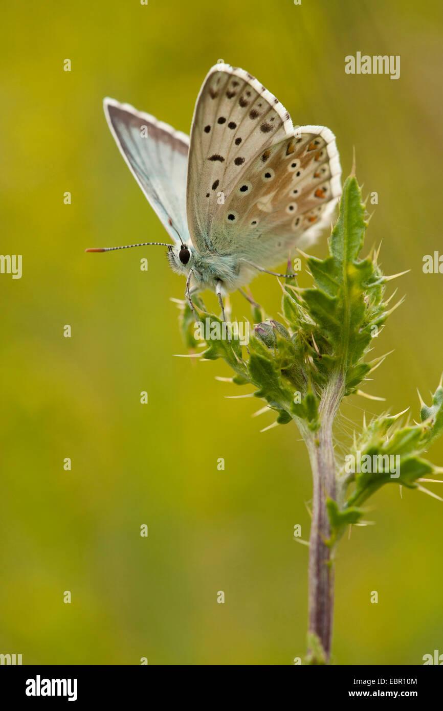 chalk-hill blue (Polyommatus coridon, Meleageria coridon), sitting on a thistle, Germany, Thueringen - Stock Image