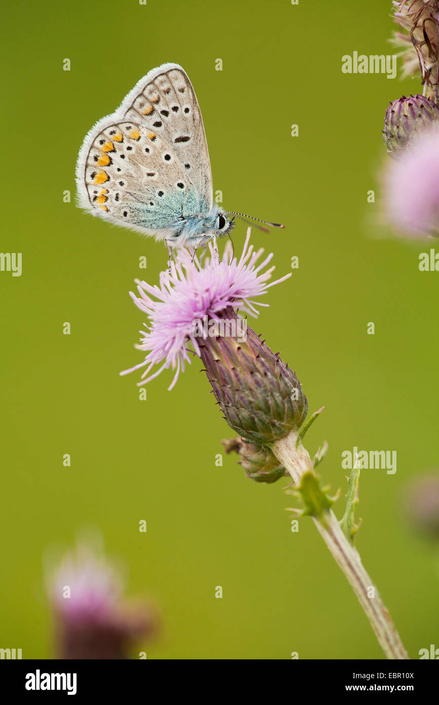 common blue (Polyommatus icarus), at boar thistle, Germany, Thueringen - Stock Image