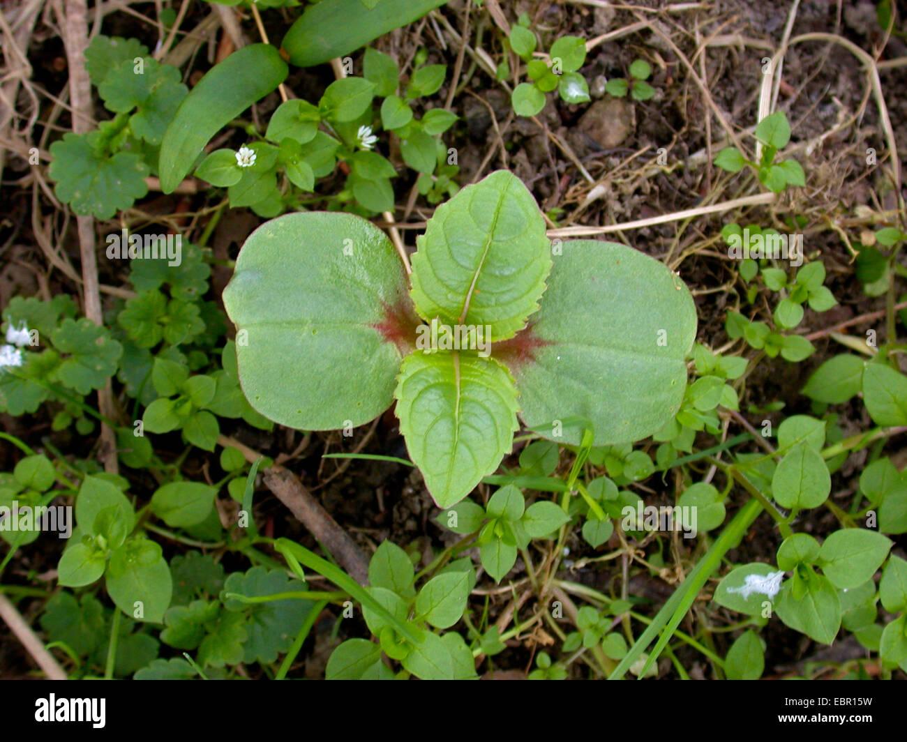 Himalayan balsam, Indian balsam, red jewelweed, ornamental jewelweed, policeman's helmet (Impatiens glandulifera), Stock Photo