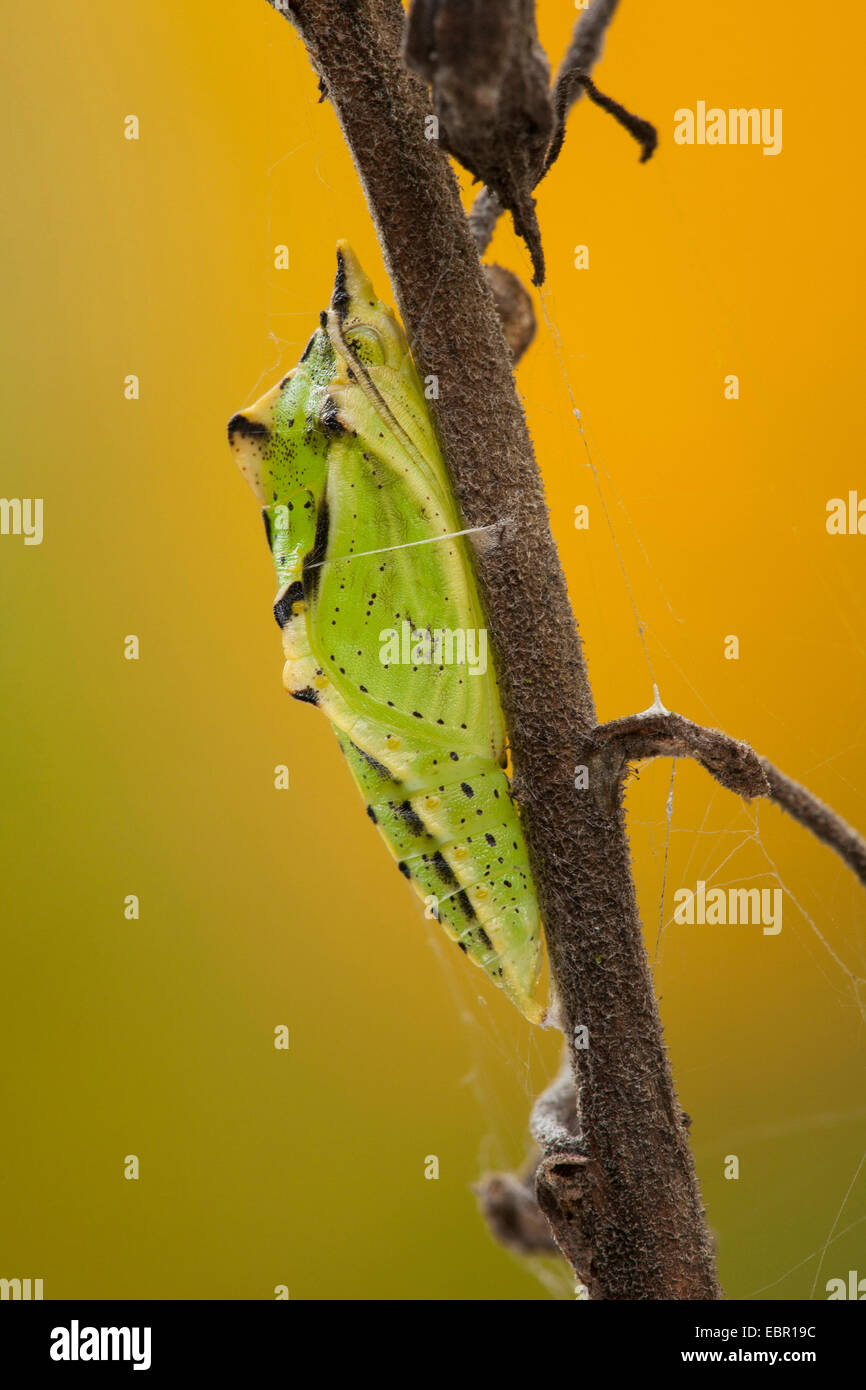 Green-veined white, Green veined white (Pieris napi, Artogeia napi), butterfly pupa at a stem, Germany, Rhineland - Stock Image