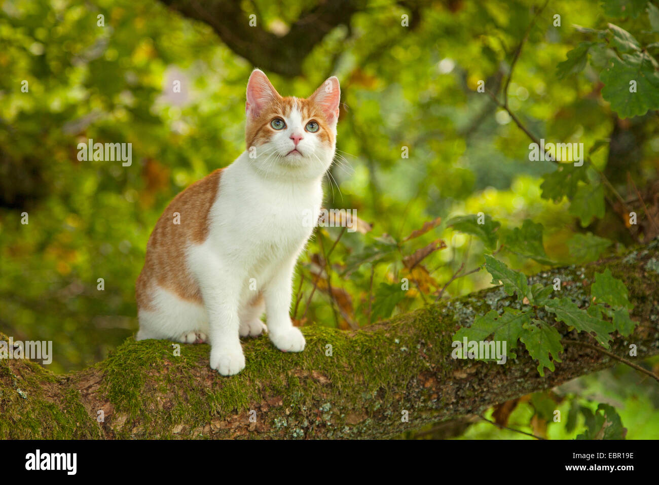 domestic cat, house cat (Felis silvestris f. catus), sitting on a twig, Germany - Stock Image