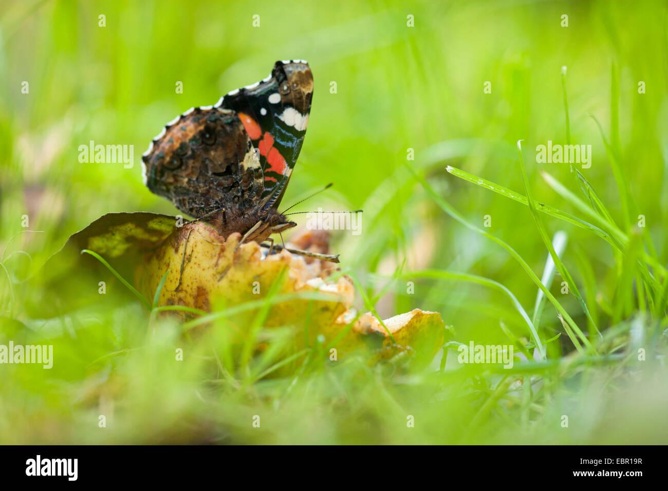 Red admiral (Vanessa atalanta, Pyrameis atalanta), in a meadow, Germany, Rhineland-Palatinate Stock Photo