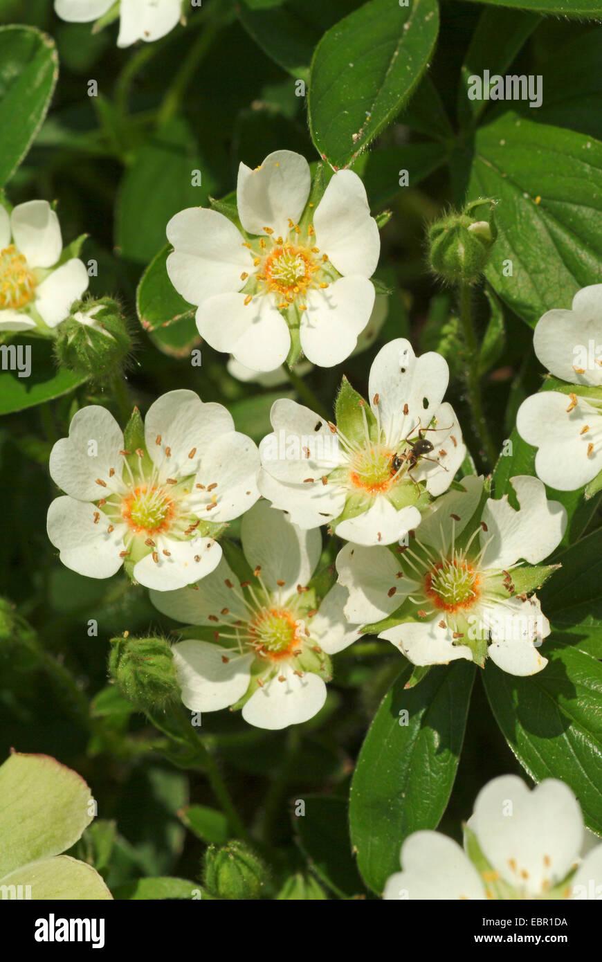 White Cinquefoil (Potentilla alba), blooming, Germany Stock Photo