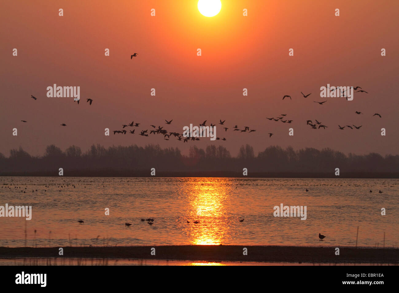 barnacle goose (Branta leucopsis), sunrise over a nature reserve in Holland with barnacle geese, Netherlands - Stock Image