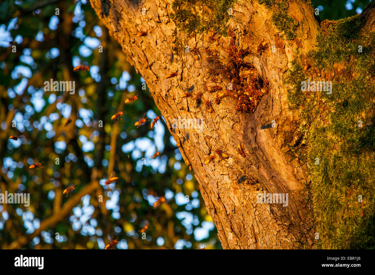 hornet, brown hornet, European hornet (Vespa crabro), hornet nest in a knothole of an apple tree, Germany, Rhineland - Stock Image