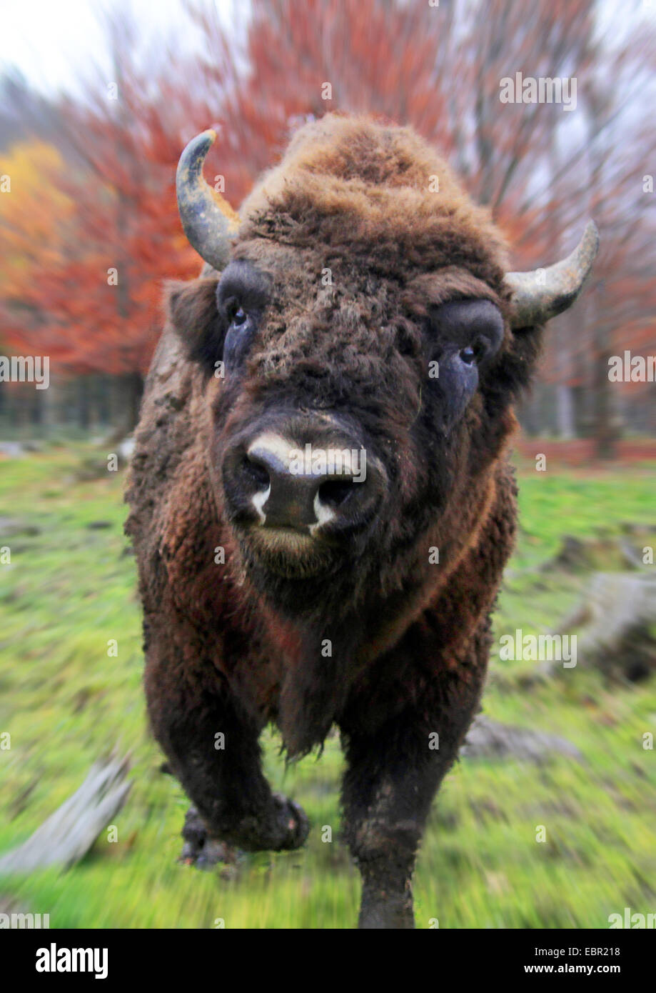 European bison, wisent (Bison bonasus), attacking the photographer, Germany - Stock Image