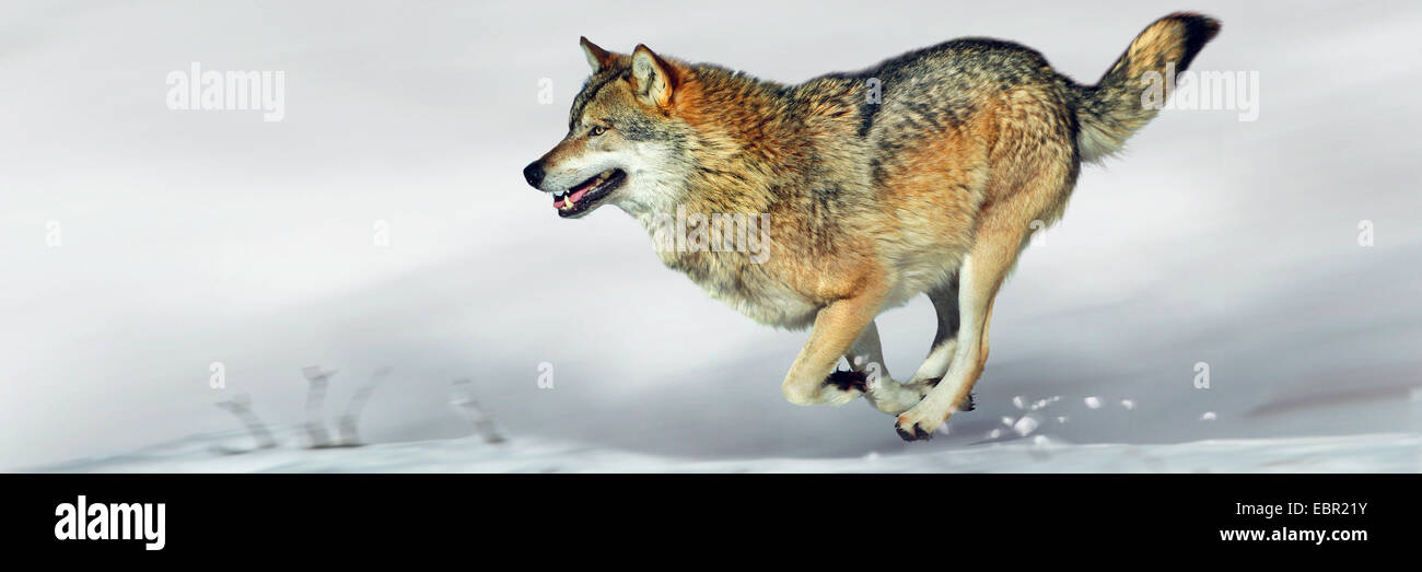 European gray wolf (Canis lupus lupus), wolf running over snow Stock Photo