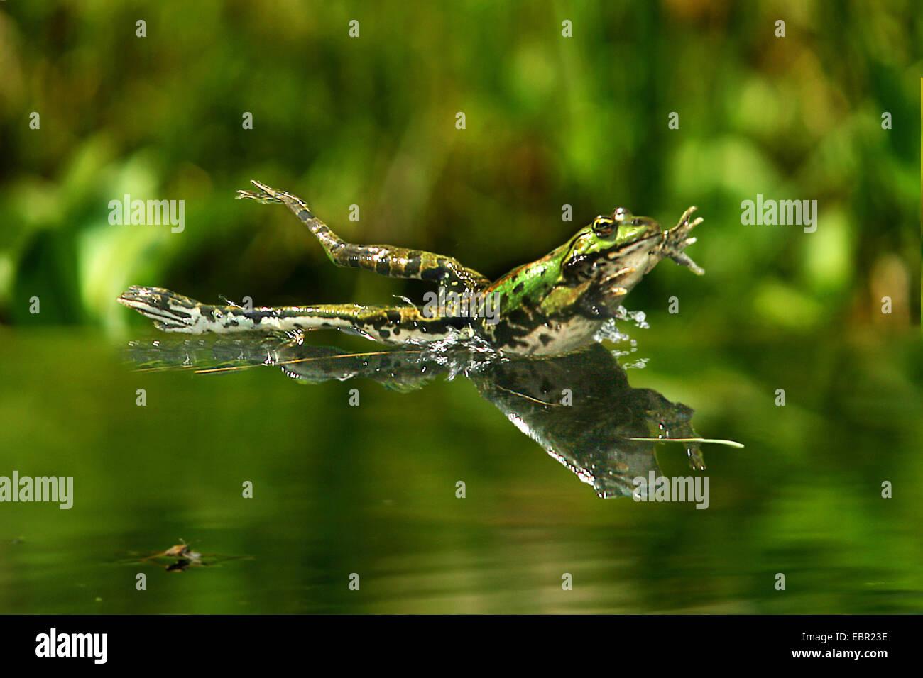 European edible frog, common edible frog (Rana kl. esculenta, Rana esculenta, Pelophylax esculentus), jumping into Stock Photo