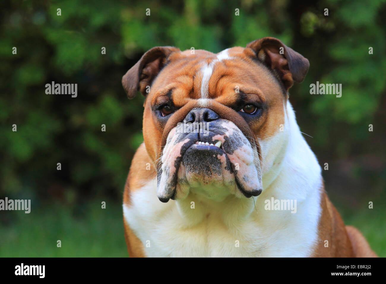 English bulldog (Canis lupus f. familiaris), portrait, Germany - Stock Image