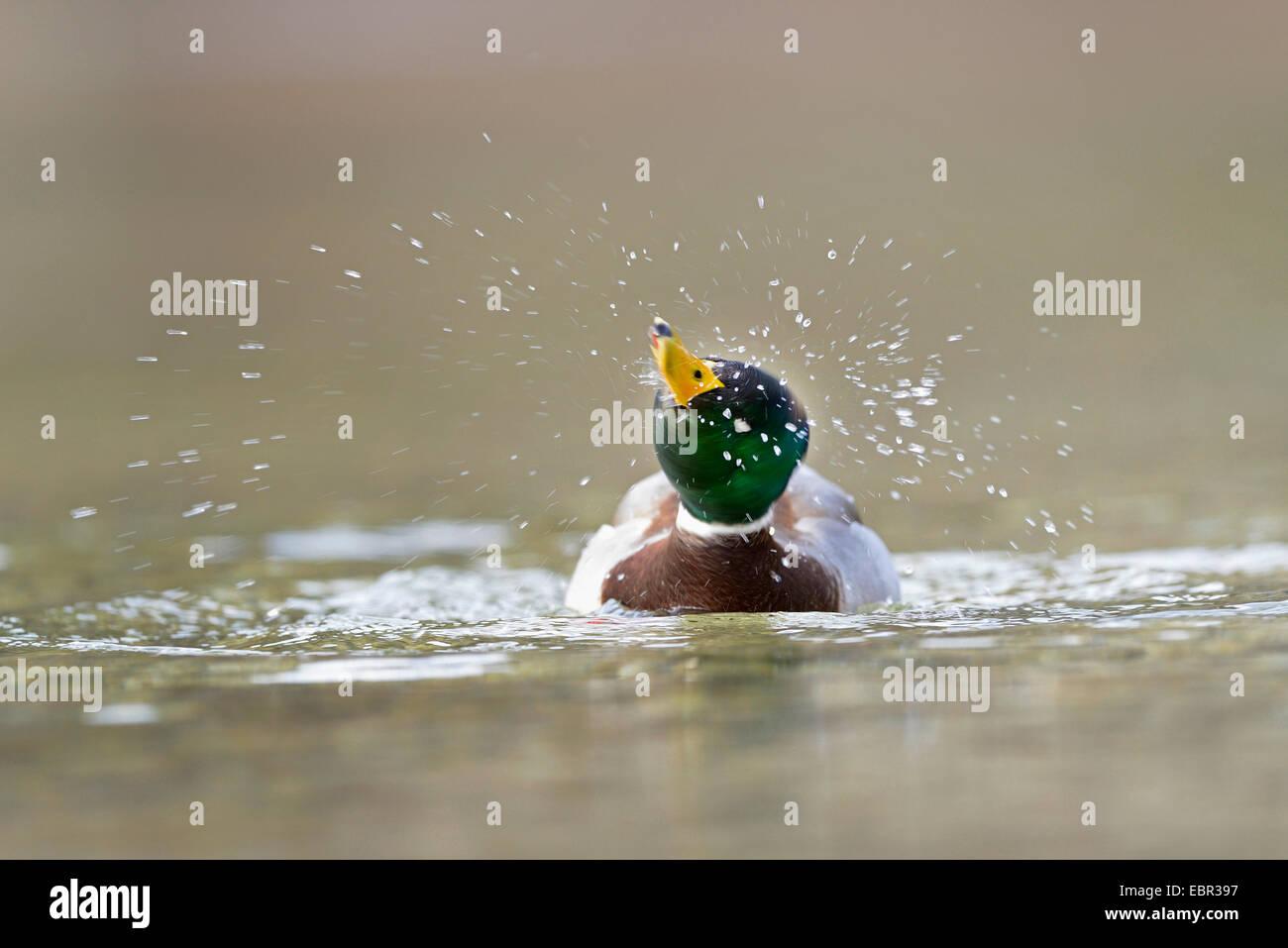 mallard (Anas platyrhynchos), swimming drake shaking water off, Austria, Styria - Stock Image