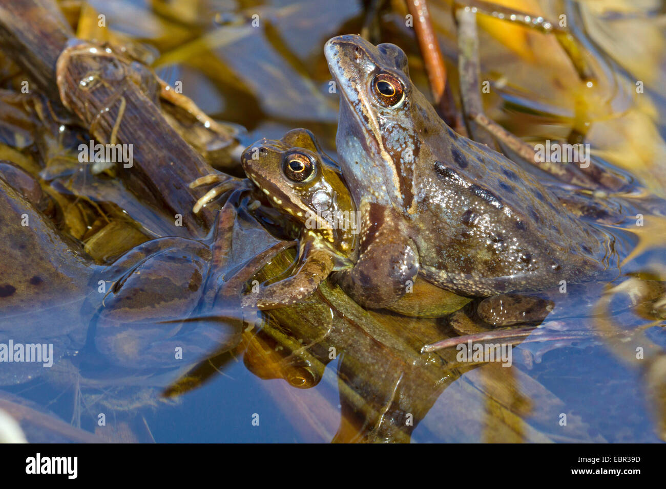 common frog, grass frog (Rana temporaria), male clutching the female, Germany - Stock Image