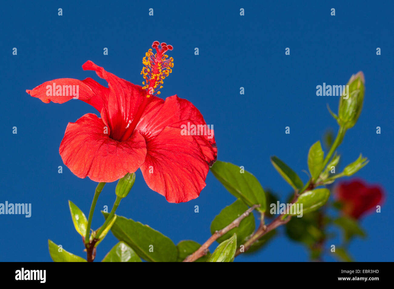 Edible hibiscus flower stock photos edible hibiscus flower stock chinese hibiscus hibiscus rosa sinensis flower against blue background stock image izmirmasajfo