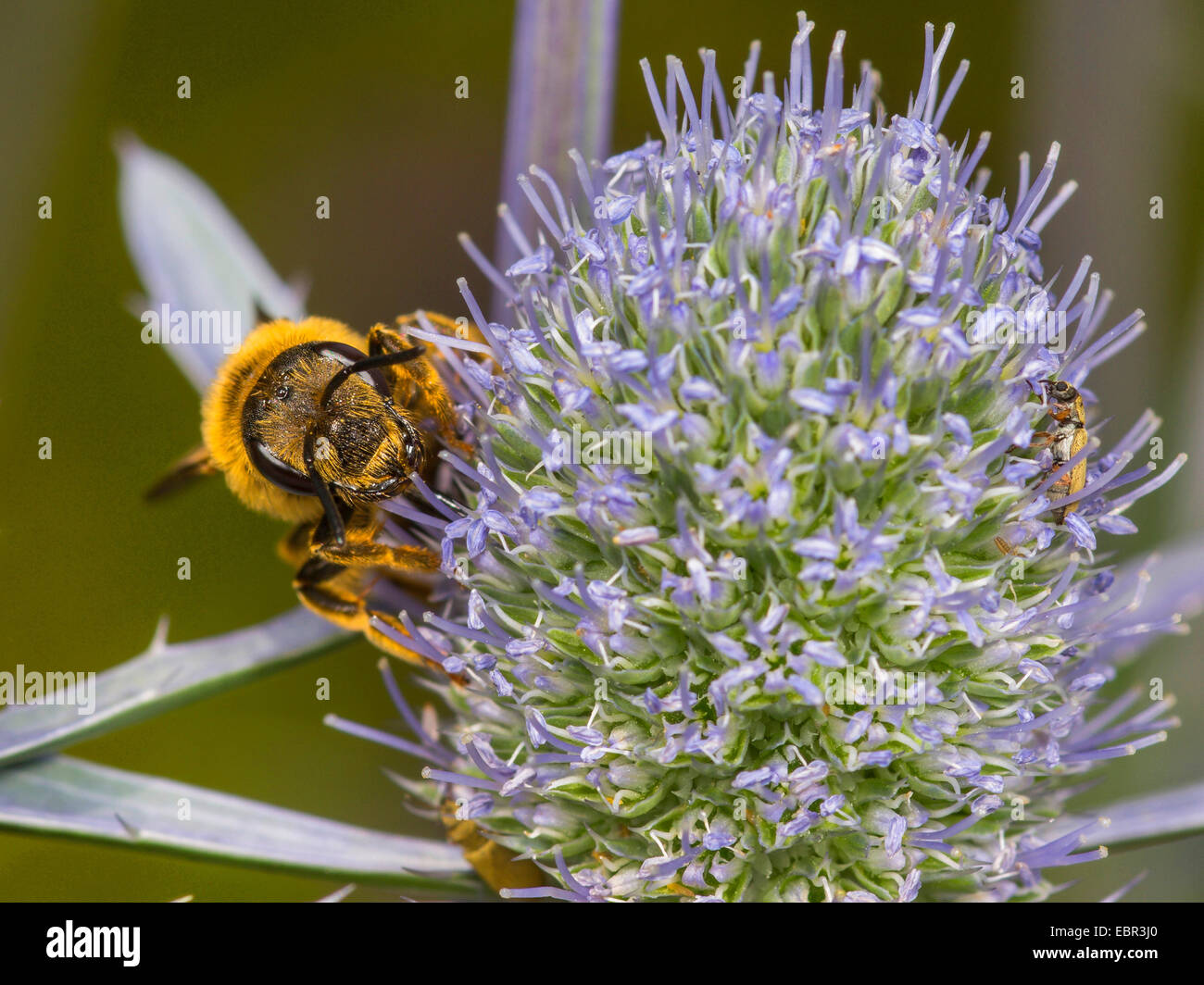 Sweat bee (Halictus scabiosae), female foraging on Eryngium planum, Germany - Stock Image