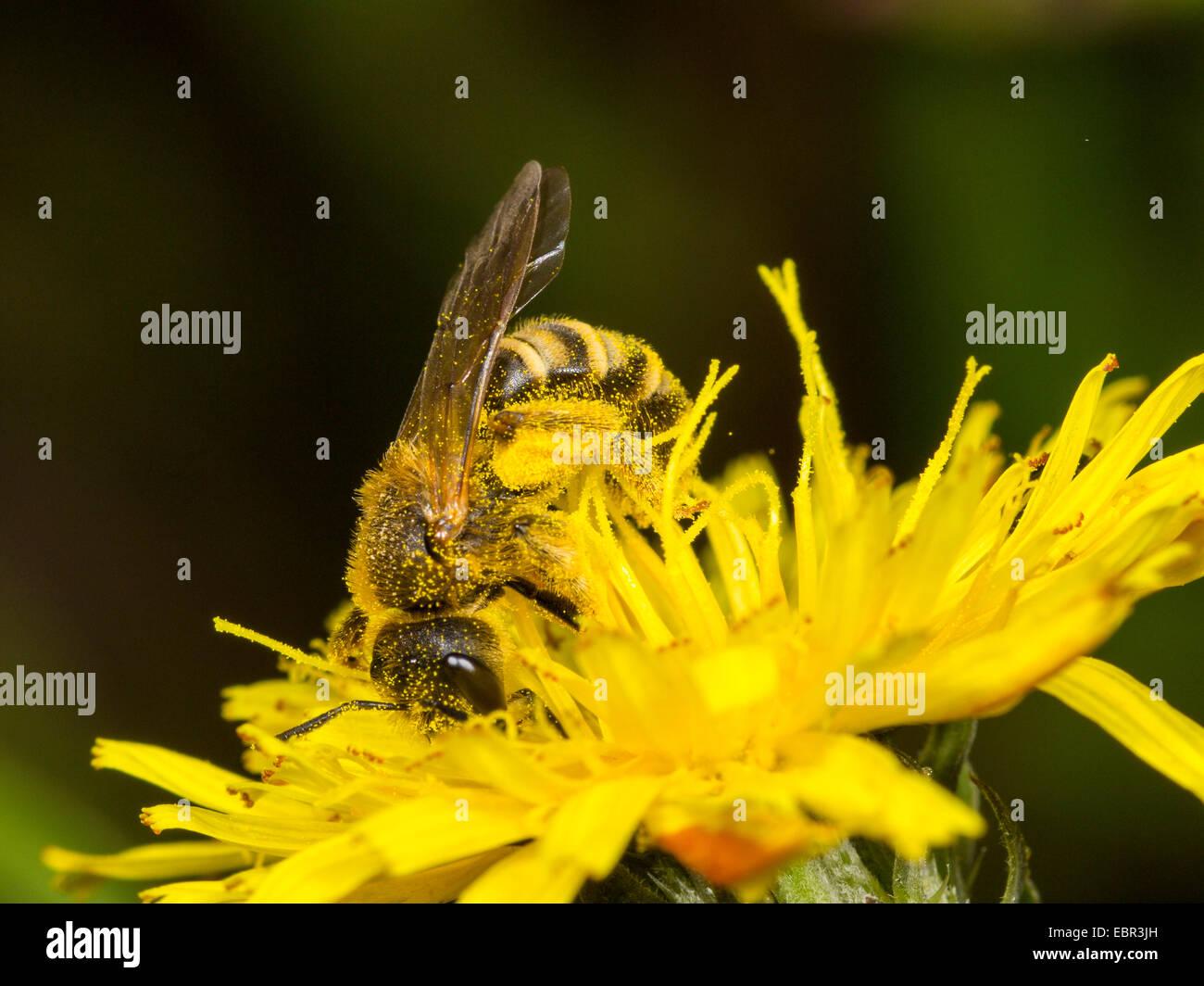 Sweat bee (Halictus scabiosae), female foraging on crepis, Germany - Stock Image