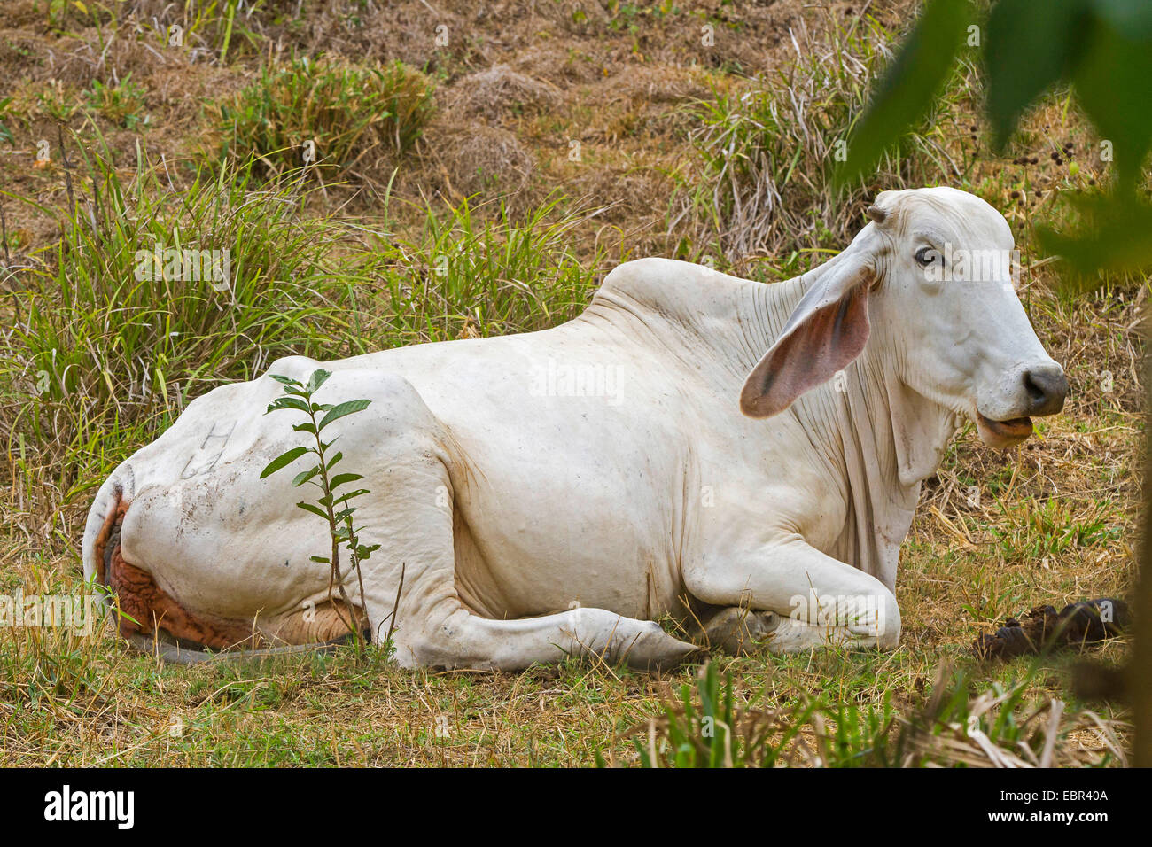 Zebu, Humped Cattle, Indicus Cattle (Bos primigenius indicus, Bos indicus), ruminating in a meadow, Costa Rica, - Stock Image