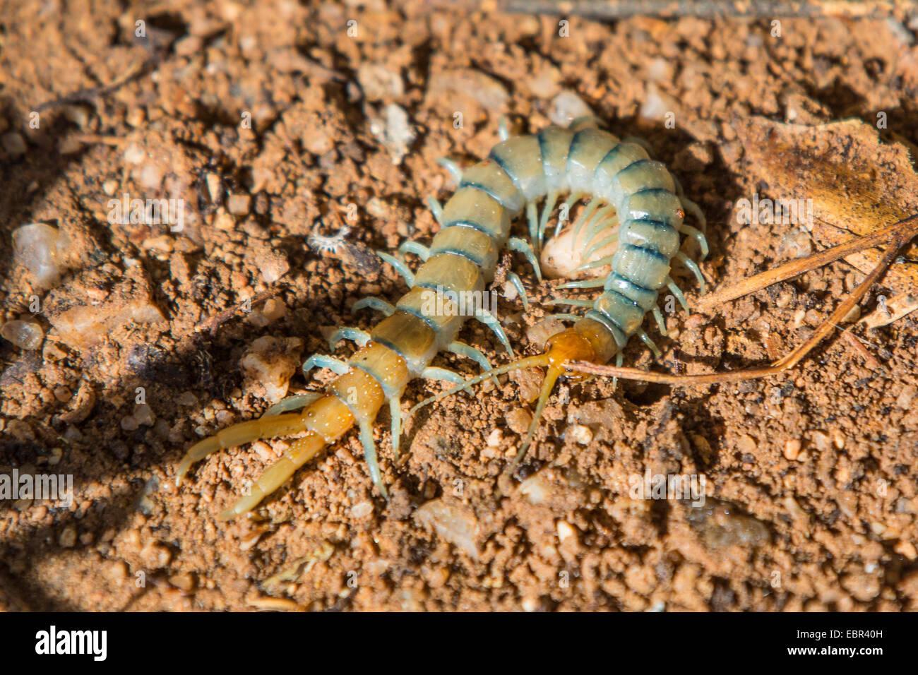 centipedes, chilopodians (Scolopendra heros arizonensis), on the ground, USA, Arizona, Phoenix Stock Photo