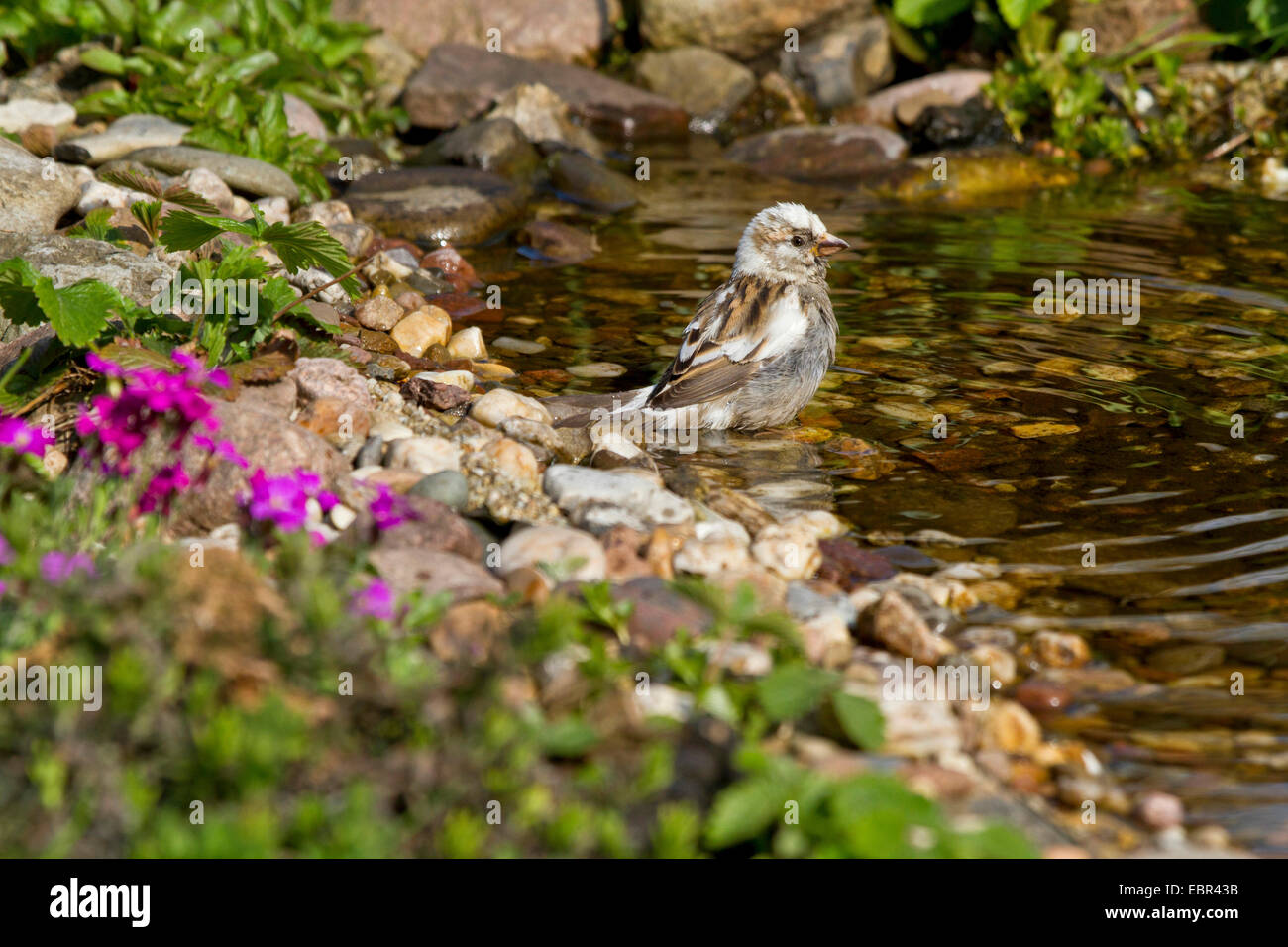 house sparrow (Passer domesticus), partial albinotic female in the creek, Germany - Stock Image