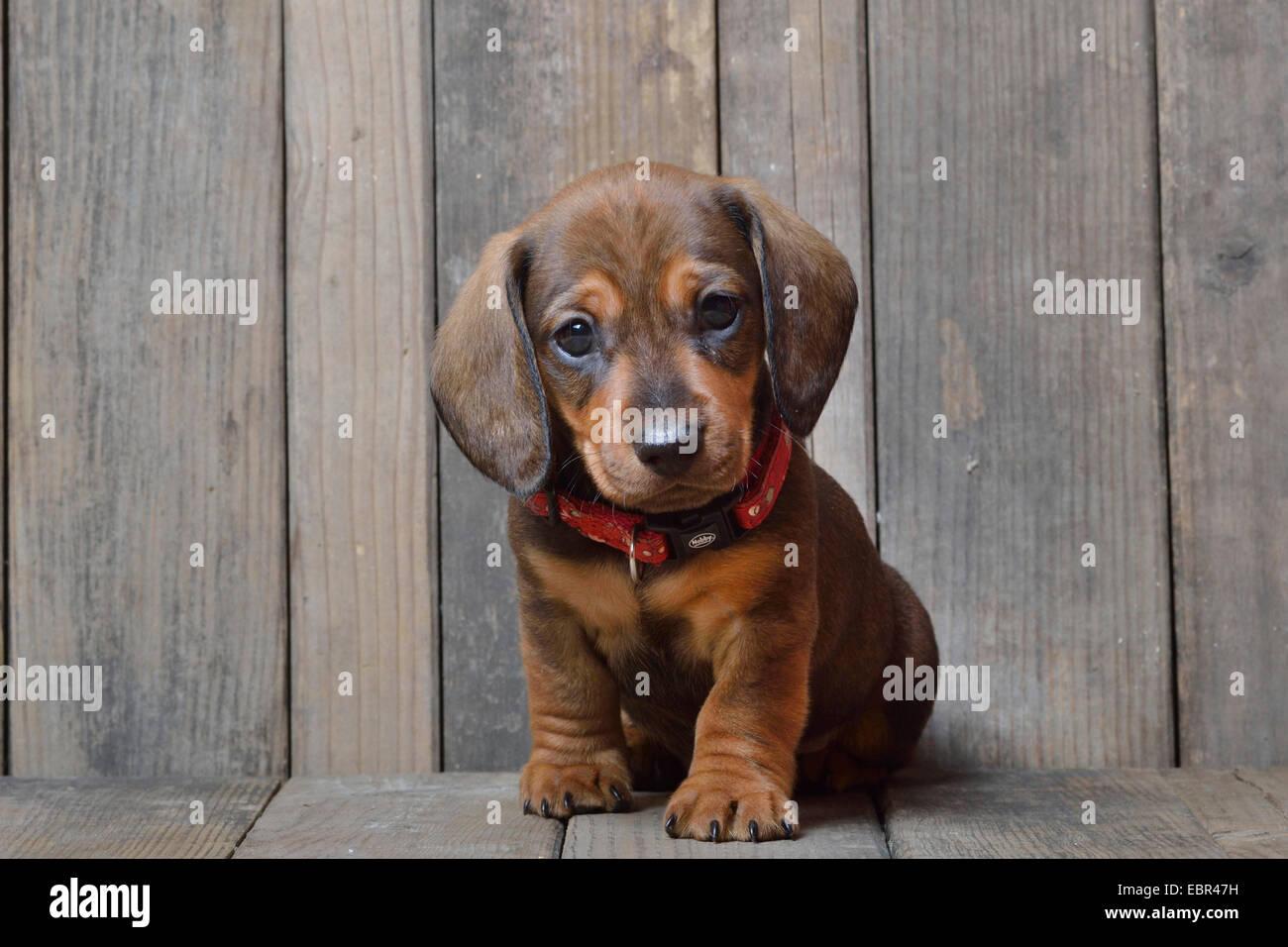 Puppy Susage Dogs
