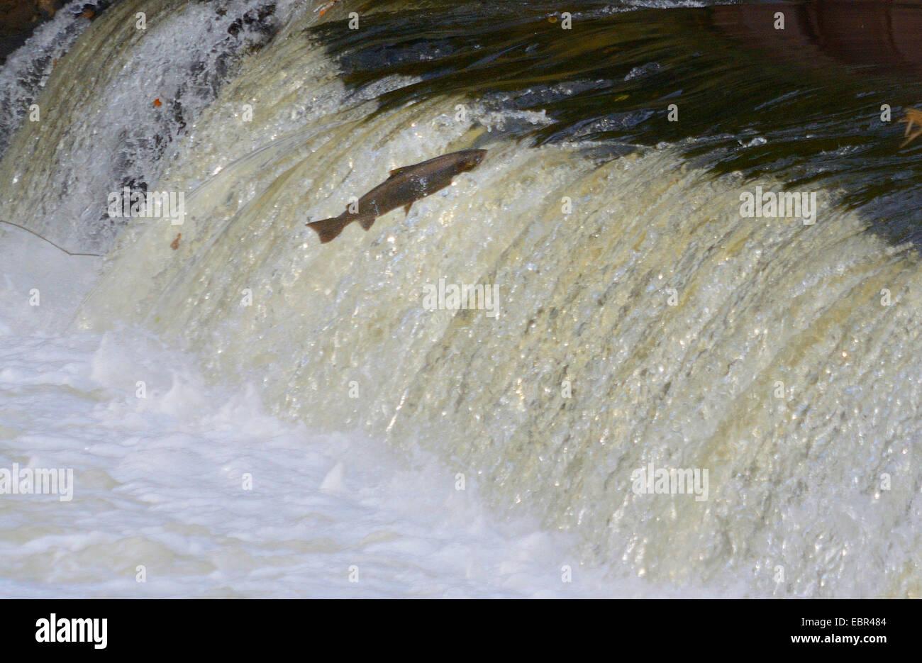 Atlantic salmon, ouananiche, lake Atlantic salmon, landlocked salmon, Sebago salmon (Salmo salar), salmon jumping Stock Photo