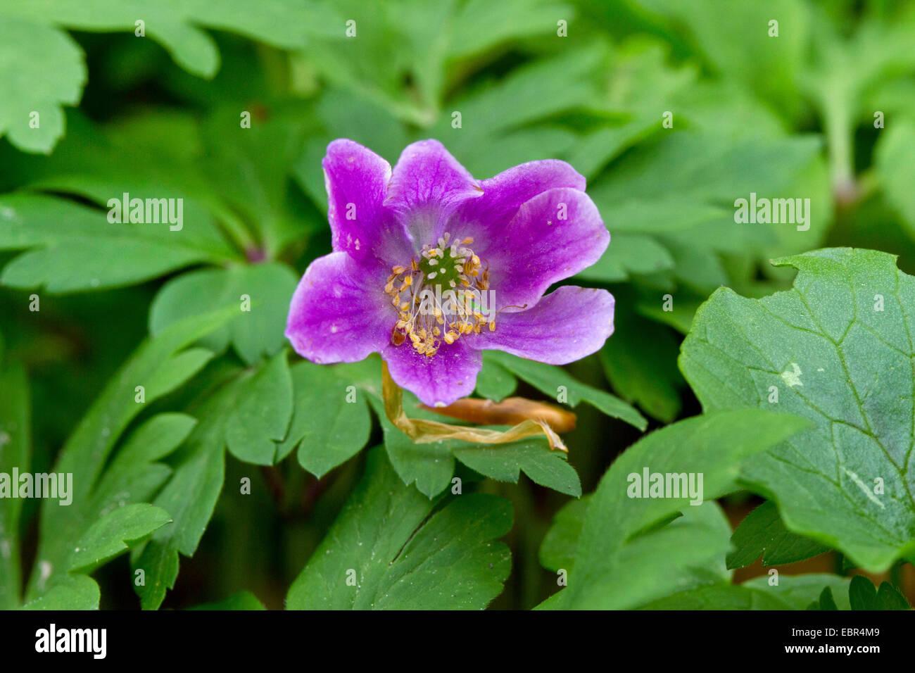 wood anemone (Anemone nemorosa), with violett flowers, Germany - Stock Image