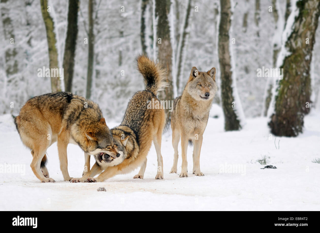 Wolf Germany european wolf canis lupus pack of wolves in germany stock