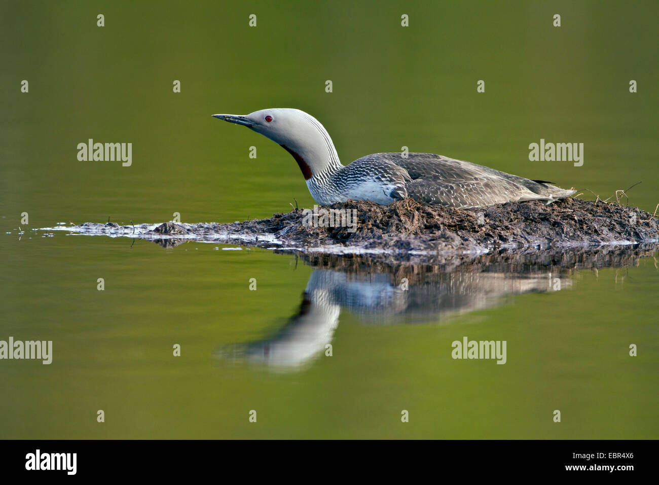 red-throated diver (Gavia stellata), watchfully red-throated diver breeding , Norway, Troms - Stock Image