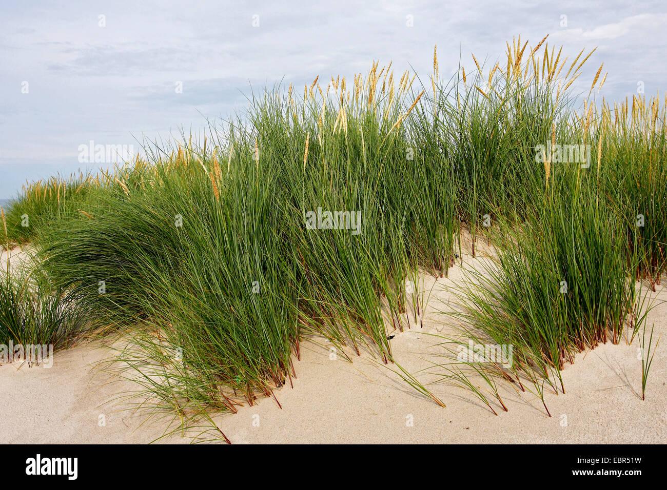 beach grass, European beachgrass, marram grass, psamma, sea sand-reed (Ammophila arenaria), dune with beachgrass, - Stock Image