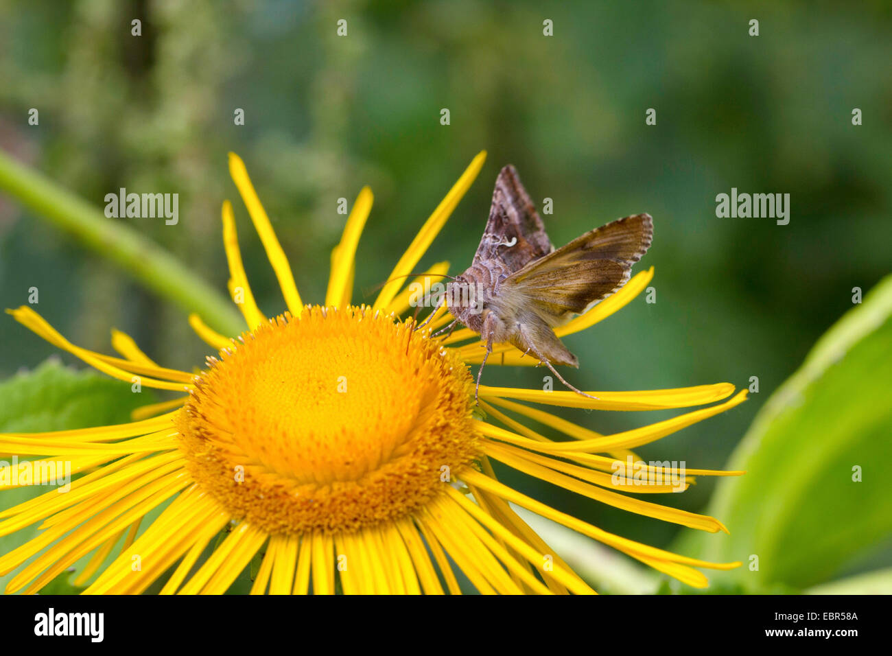 silver Y (Autographa gamma), sucking nectar at the blossom of a Large yellow oxeye, Germany - Stock Image