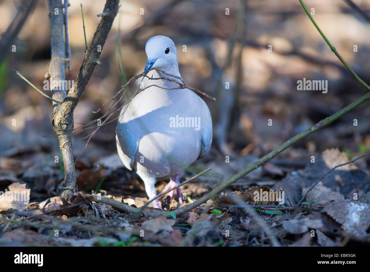 collared dove (Streptopelia decaocto), collecting twigs for building a nest on the ground, Germany, Bavaria, Isental - Stock Image