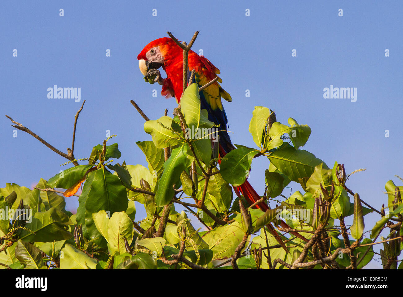 scarlet macaw (Ara macao), on tree top eating a fruit, Costa Rica - Stock Image