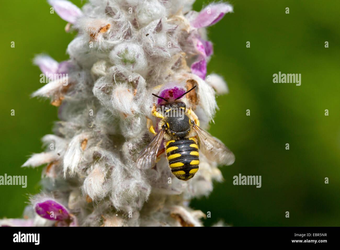 wool carder bee (Anthidium manicatum), female at Stachys byzantina, Germany - Stock Image