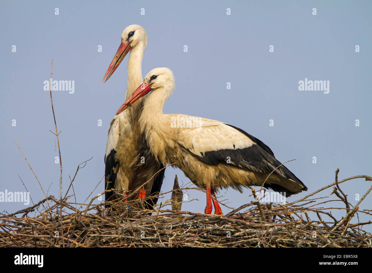 white stork (Ciconia ciconia), pair on the nest with a chick, Switzerland, Sankt Gallen, Rheineck Stock Photo