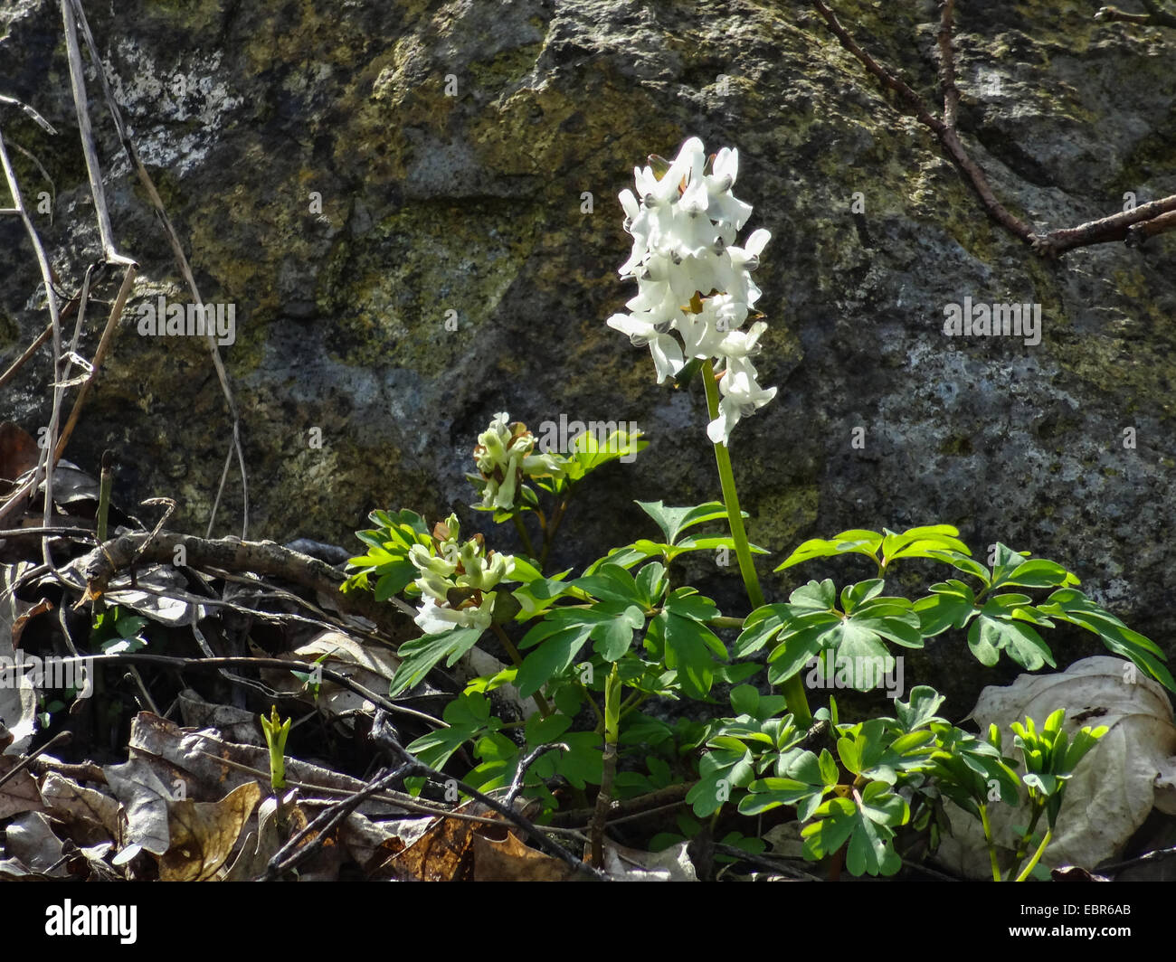 bulbous corydalis, fumewort (Corydalis cava), blooming in white, Germany, Hesse, Gudensberg - Stock Image