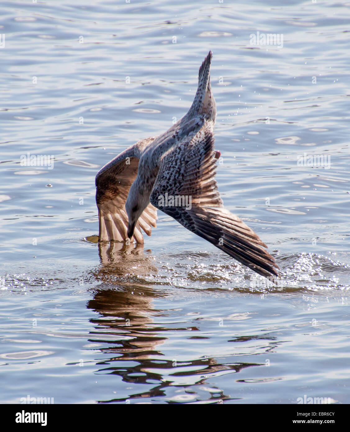 gulls (Larinae), young seagull in nose dive in the Alster, Germany, Hamburg - Stock Image