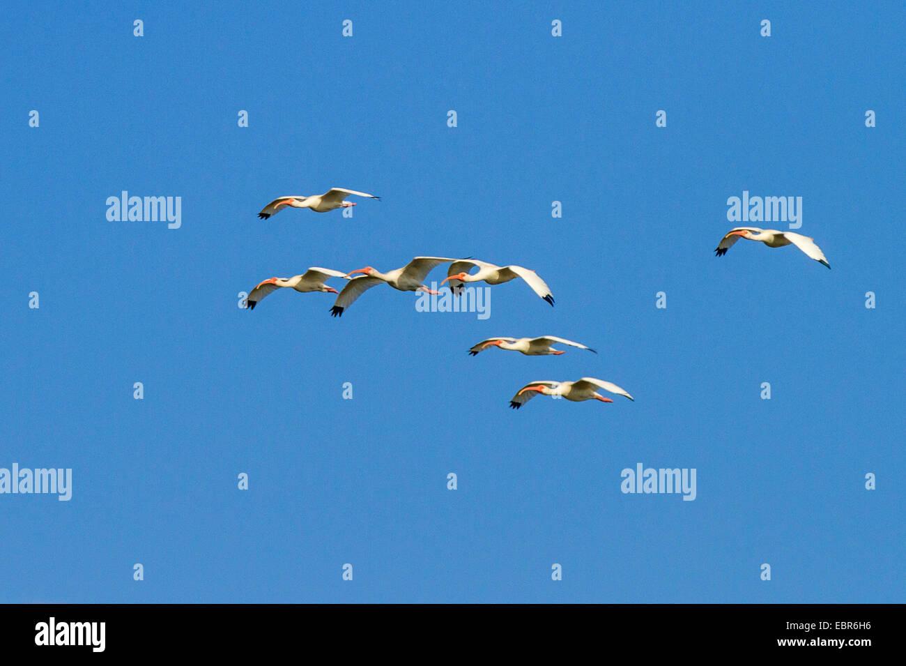 white ibis (Eudocimus albus), flying troop, Costa Rica, Rio Tarcoles - Stock Image