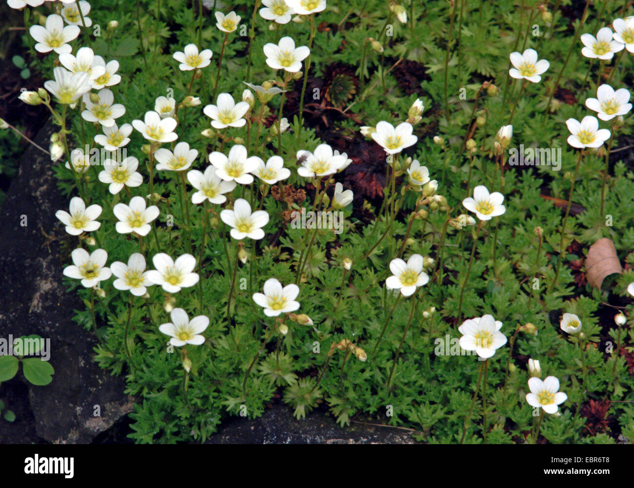 Rose Saxifrage (Saxifraga rosacea), blooming, Germany Stock Photo