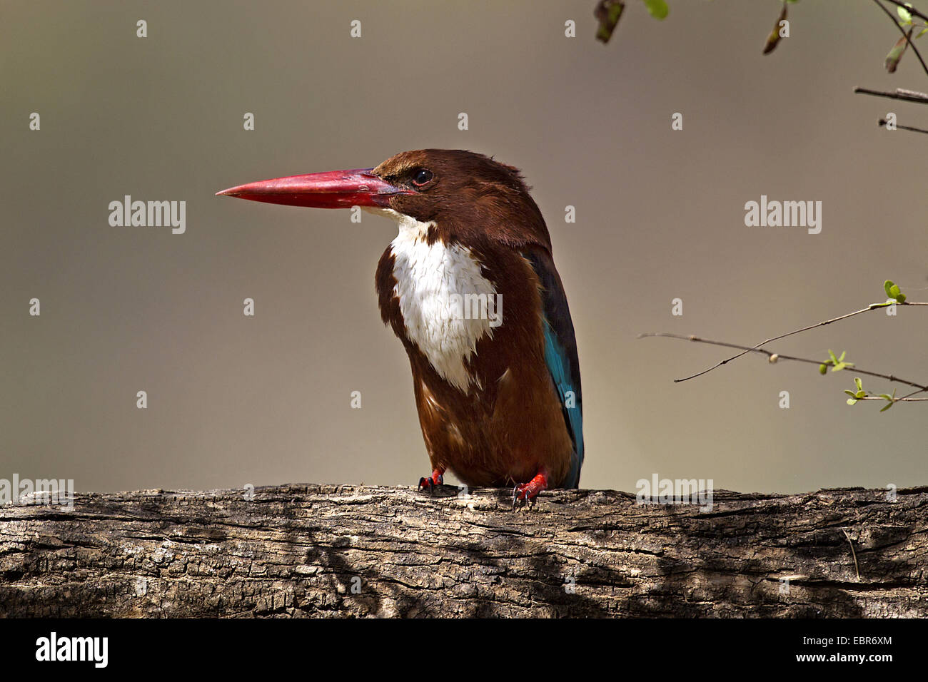 white-throated kingfisher, White-breasted Kingfisher, River Kingfisher (Halcyon smyrnensis), sitting on a branch, - Stock Image