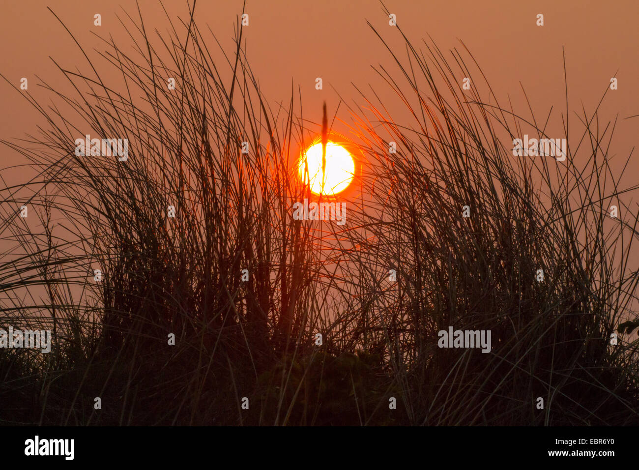 dune grass in front of sunset, Germany, Lower Saxony, Spiekeroog - Stock Image