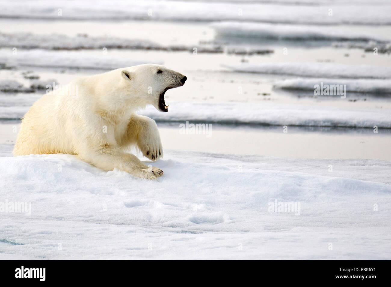 polar bear (Ursus maritimus), howling polar bear in the pack ice at 81,5 degrees north off Spitsbergen, Norway, - Stock Image