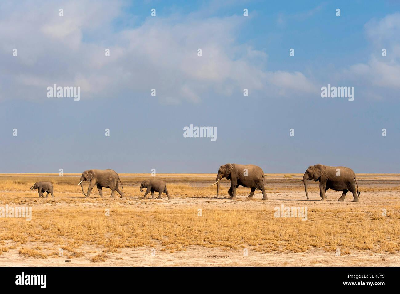 African elephant (Loxodonta africana), family of elephants walking through the savannah, Kenya, Amboseli National - Stock Image