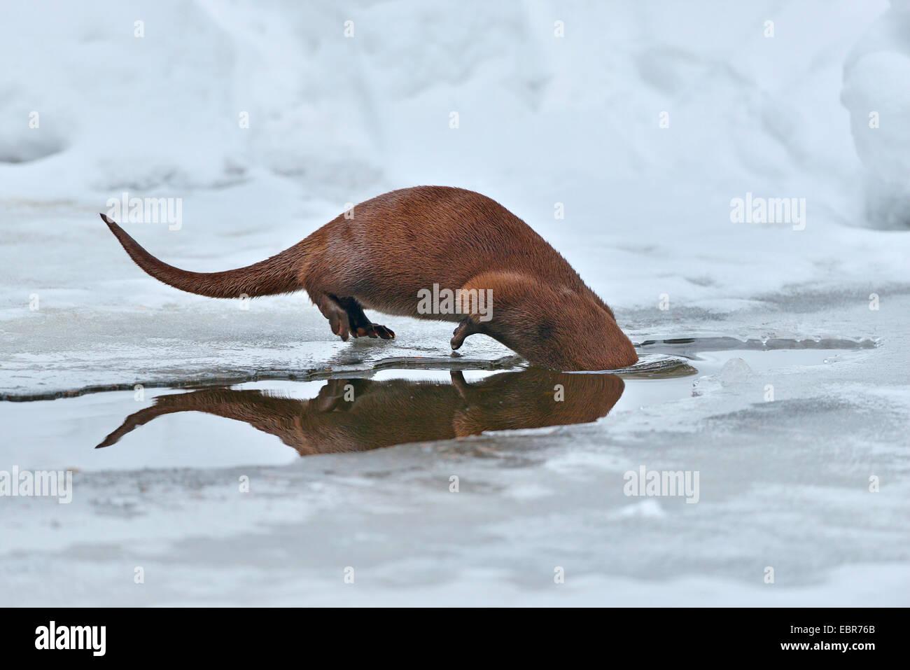European river otter, European Otter, Eurasian Otter (Lutra lutra), submerging, Germany, Bavaria, Bavarian Forest Stock Photo